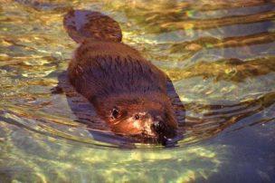 Beaver dam protects natural environment