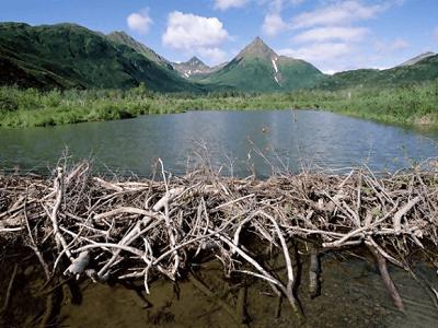 Beaver natural dam